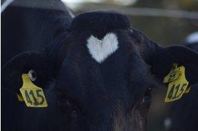 Kráva se srdíčkem na čele