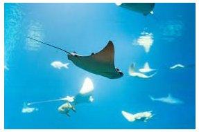 Rejnok (Ray fish)