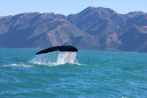Keporkak (Humpback whale)