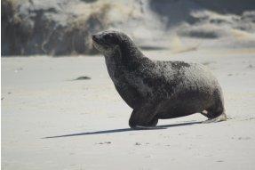 Lachtan (Seal)