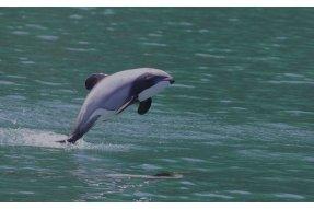 Plískavice novozélandská (Hector's dolphin)