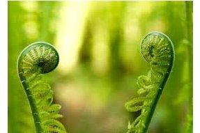 Stočené rostoucí listy kapradiny nazývané Monkey tails