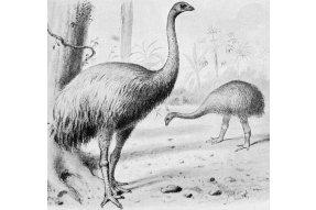 Pták Moa - největší nelétavý pták