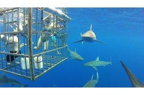 Potápění s velkým bílým žralokem