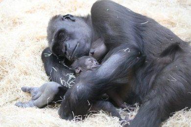Etologie goril v podmínách ZOO Praha