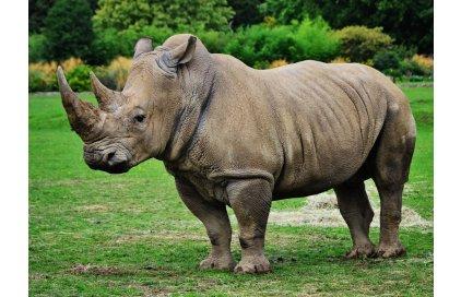Špionážní technika střeží i ohrožené nosorožce