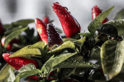 Jak chilli papričky k pálivosti přišly SHU