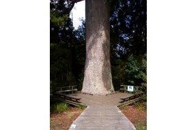Kmen stromu Kauri