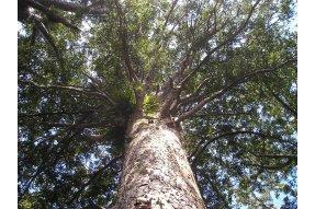 Koruna stromu Kauri