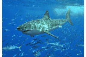 Pozorování velkýchh bílých žraloků