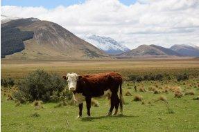 Kráva s novozélandskou krajinou