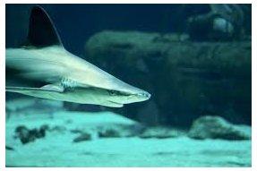 Velký bílý žralok (Great White Shark)