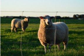 Ovce bydlící hned vedle mého karavanu