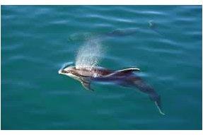 Plavání s delfíny