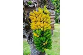 Banány jsou stále k dispozici