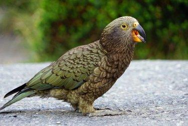 Novozélandská příroda v ohrožení