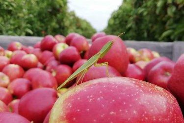 Na jablkách