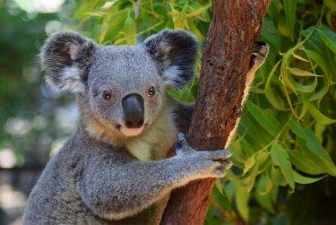 Výlet na koaly